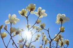 Słońce i yulan kwiat Obrazy Stock