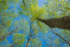 Słońce Iluminujący Drzewny baldachim Fotografia Royalty Free
