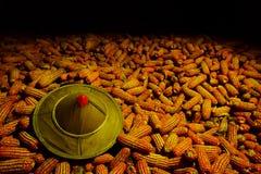 Słońce kapeluszowa Biała kukurudza zasadzająca na kukurudzy, fedrunek kukurydzani rolnicy zdjęcia royalty free