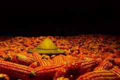 Słońce kapeluszowa Biała kukurudza zasadzająca na kukurudzy, fedrunek kukurydzani rolnicy zdjęcie royalty free