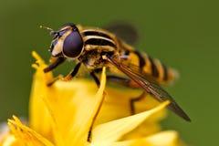 Słońce komarnica Obraz Royalty Free