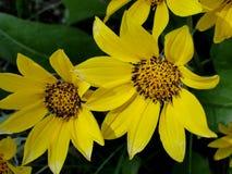 Słońce kwiatów Mark wiosna Obraz Stock