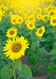 Słońce kwiatów pole z słońce lekkim skutkiem, naturalnego tła conce Obraz Royalty Free