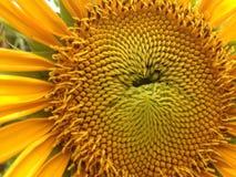 Słońce kwiat Zdjęcia Stock