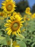 Słońce kwiat obraz royalty free