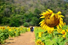 Słońce kwiat Obrazy Stock