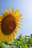 Słońce kwiat Obrazy Royalty Free