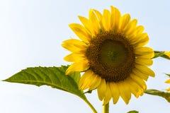 Słońce kwiat Fotografia Royalty Free