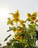 Słońce kwiat Obraz Stock
