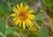 Słońce kwiat i biały motyl Obraz Stock
