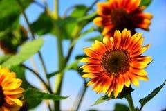 Słońce kwiat na pięknym jesień dniu obraz stock