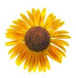Słońce kwiat Odizolowywający Zdjęcia Stock