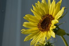 Słońce kwiatu życie Obraz Royalty Free
