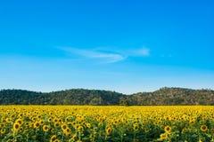 Słońce kwiatu gospodarstwo rolne Obrazy Royalty Free