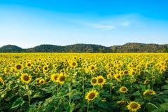 Słońce kwiatu gospodarstwo rolne Zdjęcie Stock
