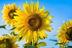 Słońce kwiatu gospodarstwo rolne Obraz Royalty Free