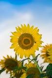Słońce kwiatu gospodarstwo rolne Fotografia Stock
