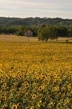 Słońce kwiatu pole zdjęcie stock