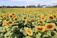 Słońce kwiaty Obraz Stock