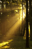 Słońce lasowi Promienie Obrazy Royalty Free