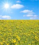 słońce mleczy Zdjęcie Royalty Free