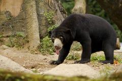 Słońce niedźwiedź Zdjęcia Royalty Free