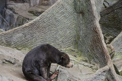 Słońce niedźwiedź Obraz Stock