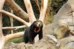 Słońce niedźwiedź (Helarctos malayanus) Zdjęcie Stock