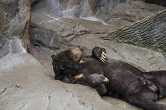 Słońce niedźwiedź jest figlarnie Fotografia Royalty Free