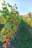 Słońce olśniewającej synkliny kolorowi liście w winnicy na pięknym zdjęcie stock