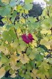 Słońce olśniewającej synkliny kolorowi liście w winnicy na pięknym fotografia royalty free