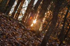 Słońce osiąga szczyt przez jesieni drewien przy złotą godziną obraz royalty free