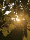 Słońce osiąga szczyt przez liści Zdjęcie Stock