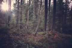 Słońce penetruje zwartego las z wiele drzewami obrazy royalty free