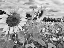 Słońce piękny kwiat Zdjęcie Royalty Free