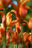 słońce pomarańczowych tulipany Zdjęcia Royalty Free