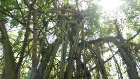 Słońce promień przez liści duzi drzewa w lasowym ruch plamy wideo dla tła i gałąź zbiory
