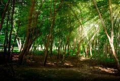 Słońce promienia przepustka Przez Zielonego liścia Fotografia Royalty Free