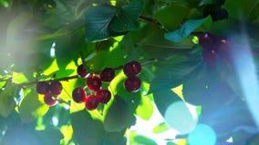 Słońce promienie błyszczą przez jagod słodka wiśnia zbiory wideo