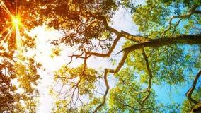 Słońce promienie błyszczą przez liści drzewo zbiory