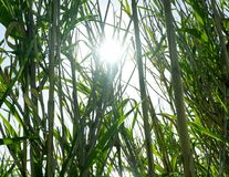 Słońce promienie błyszczy przez dużego zielonej trawy Phragmites blisko dennego wybrzeża w Chorwackiej wyspie Pag Fotografia Stock