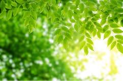 Słońce promienie i zieleń liście Fotografia Stock