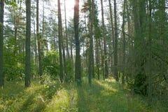 Słońce promienie penetruje przez drzew w lesie Zdjęcia Stock