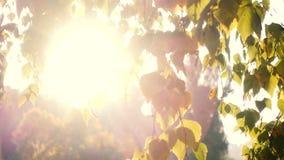 Słońce promienie przez brzoza liści zdjęcie wideo