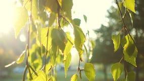 Słońce promienie przez brzoza liści zbiory