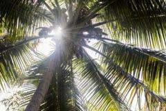 Słońce promienie przez kokosowego drzewa Obraz Stock