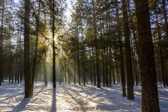 Słońce promienie przez lasu Fotografia Stock