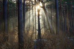 Słońce promienie przez mgły w lesie Zdjęcie Royalty Free