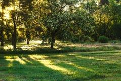 Słońce promienie w ranku w lesie Zdjęcie Royalty Free