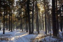 Słońce promienie w zima lesie Fotografia Stock